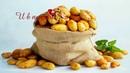 День картошки