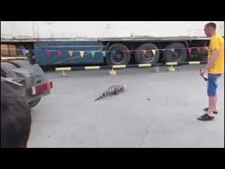 Крокодил сбежал из цирка в Новосибирске