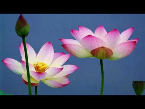 The Thinnest Lotus Flowers HD1080p