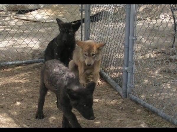 Женщина спасла трёх щенков волка. Но она даже не ожидала, что произойдет дальше