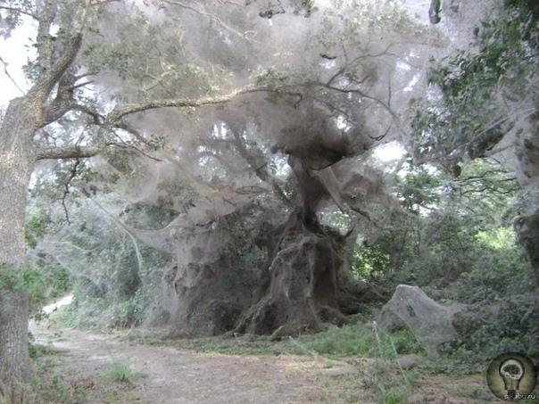 Паучьи деревья, Пакистан. Когда в 2010 году в Пакистанской провинции Синд случилось сильнейшее за последние 80 лет наводнение, от наступающей воды спасались все живые существа, включая пауков.