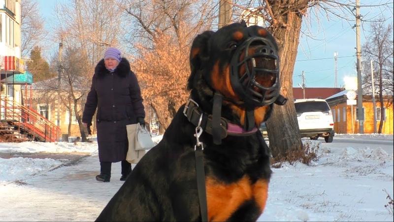 Прогулка по городу. Что делать если собака не смотрит в глаза? Ротвейлер