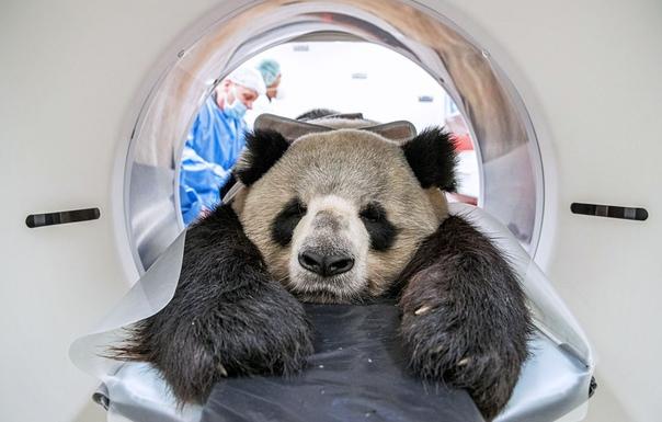 Панда по имени Цзяо Цин, звезда Берлинского зоопарка, проходит обследование на компьютерном томографе в Институте зоологии и дикой природы Ассоциации Лейбница, Берлин, Германия