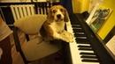 Бигль играет на синтезаторе