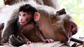 Very Lovely Mama Coro Is The Super Mother and Trying Breastfeed Her Baby- Adorable Wildlife 2020