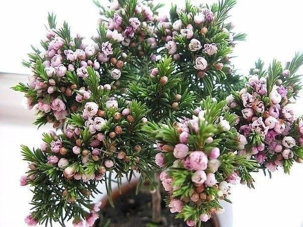 Хамелациум Хамелациум (Chamelaucium) кустарниковое цветущее растение из семейства миртовых, происходящее родом из Австралийского континента. В дикой природе произрастает на возвышенностях с