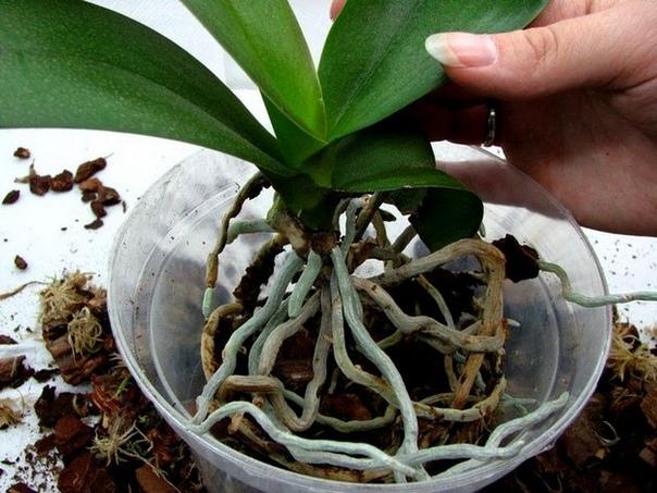 Как правильно пересадить орхидею