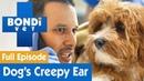 Ветеринар Бондай-Бич: Паук в собачьем ухе / Theres A Spider In This Dogs Ear!   Bondi Vet