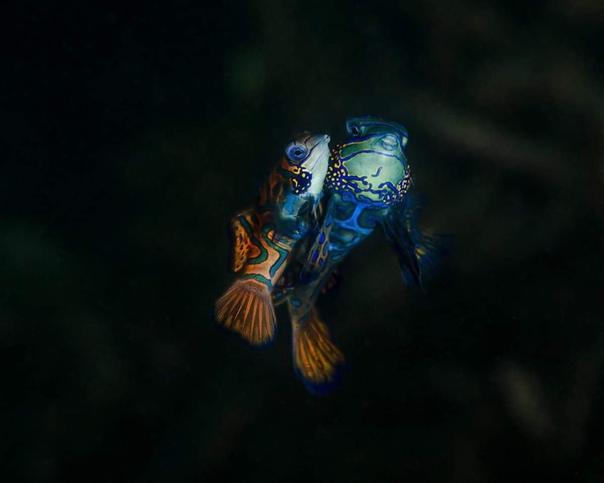 Мандаринка одна из самых красивых рыб в мировом океане Своё название она получила из-за схожести ее яркой окраски с мантией китайского чиновника мандарина. Очевидно, цветастые мантии важных