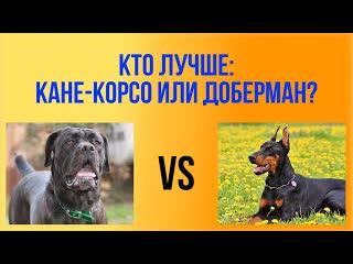 Доберман или Кане Корсо - какая порода лучше Кого выбрать Сравнение пород. Рубрика #ВыборСобаки