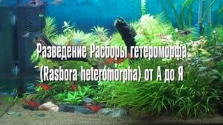 Разведение расборы гетероморфа, или разборы клинопятнистой от А до Я