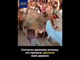 В Индии стадо коров прогнали по лежащим людям