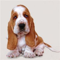 Бассет-хаунд. О породе собак: описание породы бассет-хаунд, цены ... | 199x200