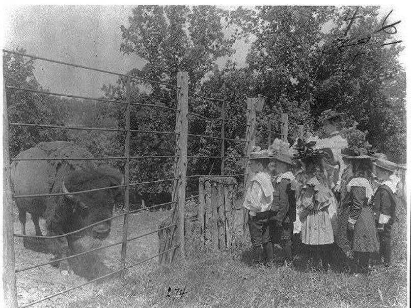 Школьники смотрят на зубра в зоопарке Вашингтона, округ Колумбия. 1899 год.