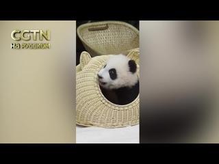 Маленькая панда нашла уютное местечко в плетёной корзине