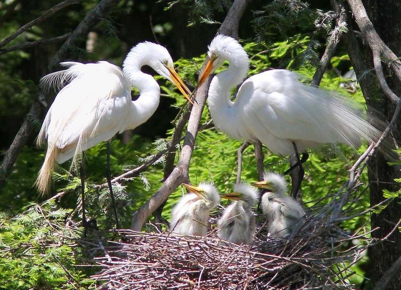 Гнездо большой белой цапли
