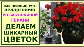 Как обрезать герань и пеларгонию для пышного цветения.