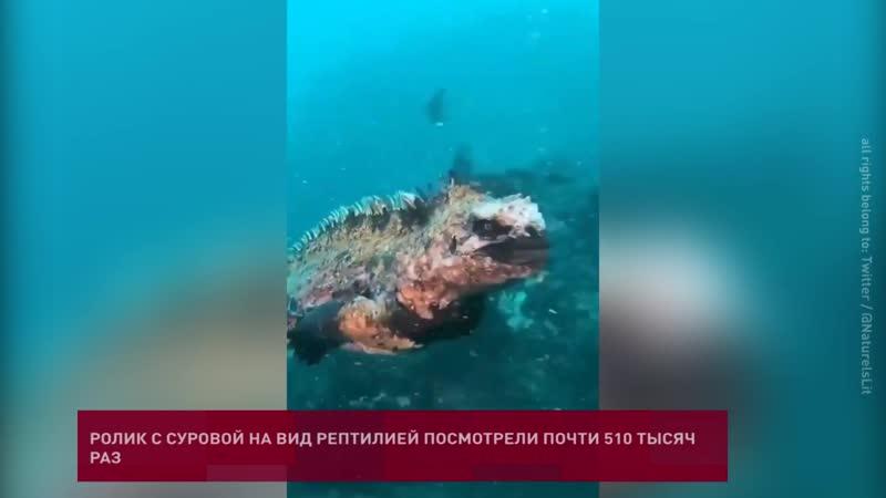 Морская игуана напомнила Годзиллу