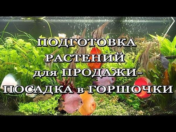 Посадка аквариумных растений в горшочки.aquatic plants in pots