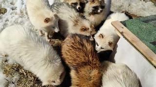 Лисы из Новолисья. Очень общительные енотовидные собаки.