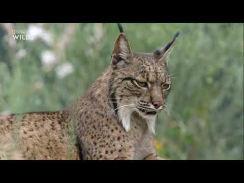 Удивительный животный мир Исчезающая Рысь Европа Документальный фильм National Geographic