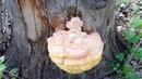 Чудесная находка в лесу, дар Духов леса! тсж грибы дарылеса природа